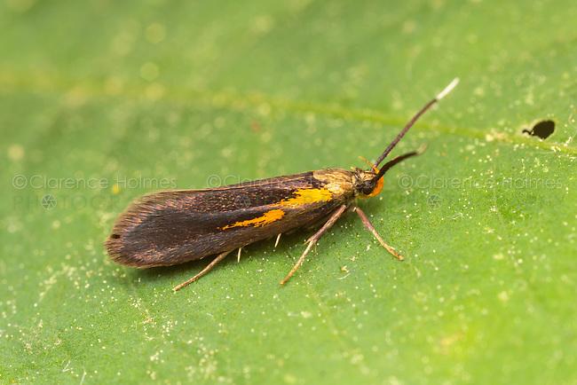 Newman's Mathildana Moth (Mathildana newmanella)
