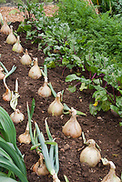 Giant Walla Walla Onions growing in vegetable garden with carrots, beets and other root crops