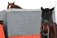 RUMAENIEN, 02.2006, Cirta bei/close to Miercurea-Ciuc. Pferdehaltung auf dem Dorf. Pferde werden bis heute als Nutz- und Zugtiere eingesetzt. Transport zum Schlachthof.   Village horsekeeping. Horses are until today used as productive livestock for work and cart-pulling. Taking the horses to the slaughter house..© Andreea Tanase/EST&OST.