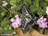 0401-08oo  Anise Swallowtail Using Proboscis to Suck Nectar from Flower, Papilio zelicaon © David Kuhn/Dwight Kuhn Photography