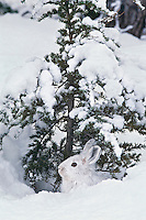 Snowshoe hare or varying hare (Lepus americanus), Winter
