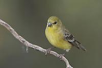 Lesser Goldfinch, Carduelis psaltria, female green-backed, Paradise, Chiricahua Mountains, Arizona, USA, August 2005