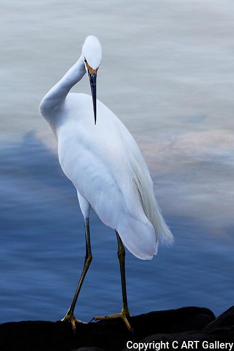 Egret posing on a rock, Balboa Island.