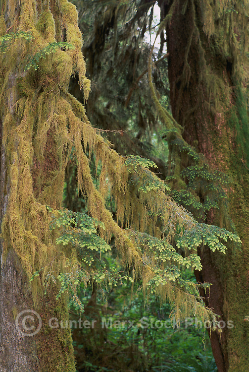 Lichen Covered Western Hemlock (Tsuga heterophylla) Tree Branches with New Growth, in a Pacific West Coast Forest, Vancouver Island, BC, British Columbia, Canada
