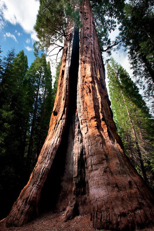 Boole tree. Kings Canyon National Park, California