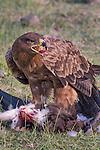 Ngorongoro Conservation Area and UNESCO World Heritage Site, Arusha, Tanzania , tawny eagle (Aquila rapax)