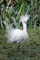 Snowy Egret in breeding plummage, Taylor, Texas
