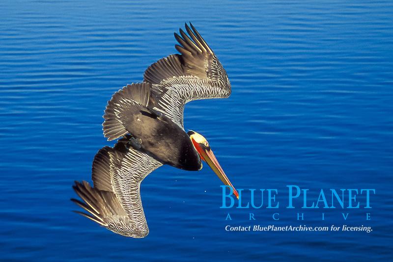 Brown Pelican in full breeding colors diving Pelecanus occidentalis Bolsa Chica Wetlands, California