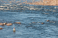 A fly angler fishing for Atlantic salmon (Salmo salar), Yokanga River, Russia.