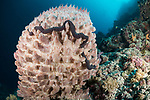 Marovo Lagoon, Solomon Islands; a large pink barrel sponge with a long Synaptula sp. sea cucumber wrapped around it, growing on a wall of the reef