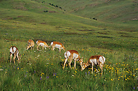 Pronghorn Antelope (Antiloapra americana) does among prairie wildflowers.  Western U.S., June.