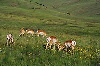 Pronghorn Antelope (Antiloapra americana) does among prairie wildflowers.  Western U.S., June.