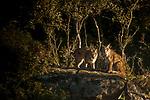 Iberian Lynx (Lynx pardinus) mother with twenty-one month old female kitten, Sierra de Andujar Natural Park, Sierra de Andujar, Sierra Morena, Andalusia, Spain