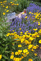 Coreopsis pubescens 'Sunshine Superman' & Salvia x sylvestris 'Blue Hills', blue and yellow gold color theme garden with bird house, sunny summer perennial flowers, planterd in drifts