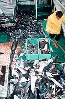 shark fins on boat deck, taken in the highly destructive shark finning industry, Puntarenas, Costa Rica, Pacific Ocean