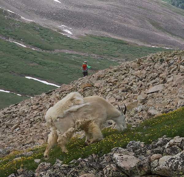 Woman hiking and mountain goat on Mt Democrat (14,154 ft), Colorado. .  John leads private, wildlife photo tours throughout Colorado. Year-round.