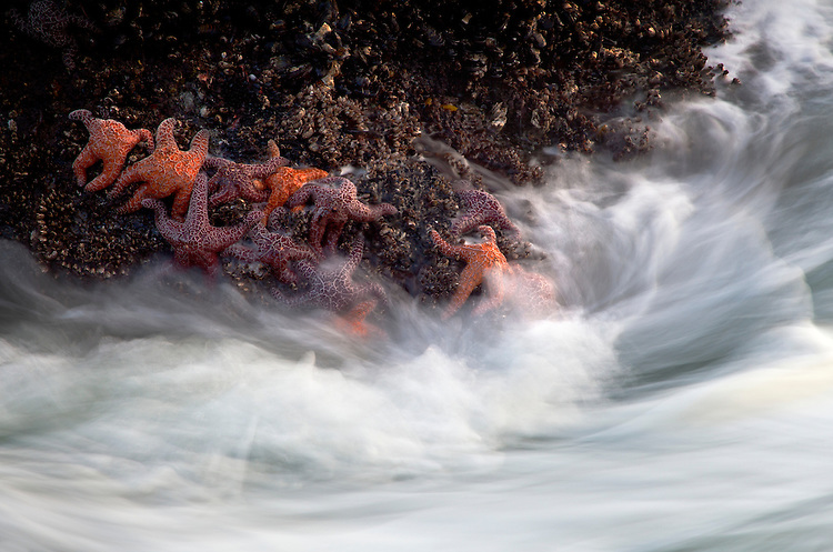 Star fish cling to a mussel-covered rocks as waves from the Pacific Ocean crash into them on Indian Beach, Ecola State Park, Oregon, USA