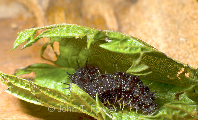Red Admiral Butterfly nest in foilded leaf