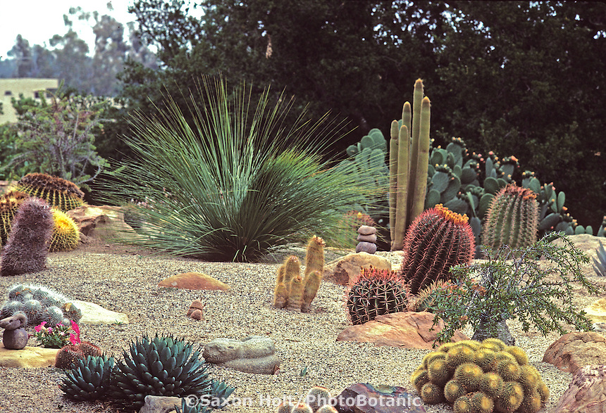 Xeriscape, desert style garden with Cactus and Grass tree (Xanthorrhoea) using rock gravel mulch  Santa Barbara, California