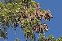 Europäische Fichte, Gewöhnliche Fichte, Rotfichte, Zapfen am Baum hängend, Picea abies, Christmas Tree, Common Spruce, Epicéa