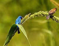 Male and female indigo buntings feeding on seedhead