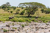 Tanzania. Serengeti. Elephant Browsing on the Banks of the Mara River.