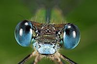 Gemeine Weidenjungfer, Portrait, Auge, Augen, Komplexaugen, Facettenaugen, Chalcolestes viridis, Lestes viridis, Willow Emerald Damselfly, Binsenjungfer