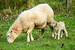 Merino Sheep (Ovis aries) mother with blood from birth on neck with newborn lamb, Kaikoura, South Island, New Zealand