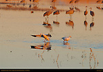 Snow Goose Landing at Sunset, Bosque del Apache Wildlife Refuge, New Mexico