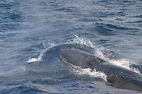 sei whale, Balaenoptera borealis, Azores Island, Portugal, North Atlantic