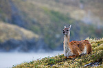 Guanaco (Lama guanicoe) during rainfall, Torres del Paine National Park, Patagonia, Chile