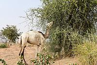 NIGER, Maradi, village Dan Bako, desertification, camel having leaves from thorn tree