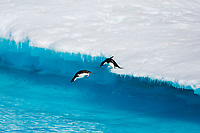 An adult Adelie penguin (Pygoscelis adeliae) pair leaping into the sea from an ice floe in the Weddell Sea, Antarctica.