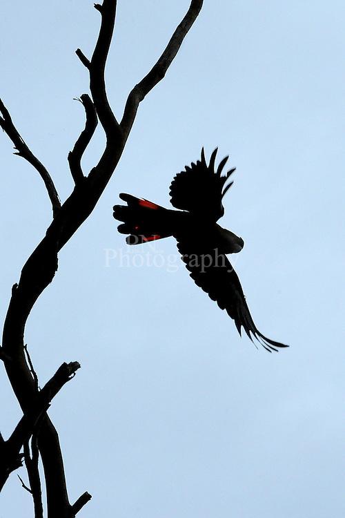 This photo was taken at American river in flight on Kangaroo Island very few Glossy blacks left