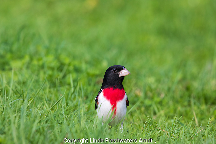 Male rose-breasted grosbeak standing in the grass.