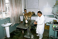 MDC deminer and dog in the North of the Afghan capital Kabul..The principal objective of Hallotrust is the elimination of mines and UXOs within Afghanistan to reduce the number of casualties amongst the civilian population and to enable land to be returned to productive use, thus reducing reliance on international food aid.