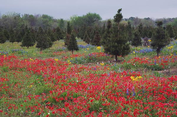 Wildflower field with Drummond's Phlox (Phlox drummondii), Gonzales County, Texas, USA