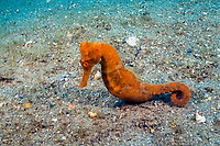 Long snout seahorse (Hippocampus reidi), photographed underneath the Blue Heron Bridge in Singer Island, Florida, USA, Atlantic Ocean, a dive site known worldwide for its biodiversity.