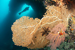 Hatta Island, Banda Sea, Indonesia; a scuba diver is silhouette against an opening in the coral reef at the hole in the wall dive site, with a large, orange sea fan in the foreground
