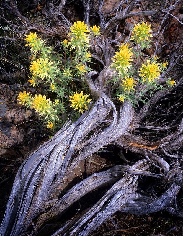 Sulfur paintbrush (castilleja sulphurea). Near Lake Abert, Oregon.