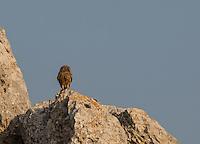 Little Owl near the summit of Kastellorizo, Greece