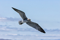 Larus fuliginosus<br /> <br /> The lava gull is the rarest species of gull and is found around the coast of the Galapagos Islands.
