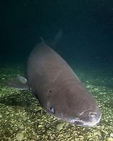 Greenland Shark, Somniosus microcephalus, A member of the sleeper shark family. Baie Comeeau, Quebec, Canada, Saint Lawrence River, Atlantic Ocean