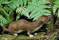 MA28-037z  Short-Tailed Weasel - ermine in brown summer coat - Mustela erminea