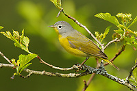 Adult male Nashville Warbler (Vermivora ruficapilla) in breeding plumage. Tompkins County, New York. May
