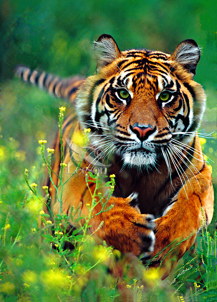 Tiger charging toward camera.