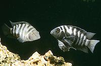 Zebra-Buntbarsch, Zebrabuntbarsch, Grünflossen-Buntbarsch, Grünflossenbuntbarsch, Amatitlania nigrofasciata, Archocentrus nigrofasciatus, Cichlasoma nigrofasciatum, Cryptoheros nigrofasciatum, convict cichlid, zebra cichlid, cichlasoma nigro
