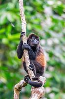 mantled howler, Alouatta palliata, aka golden-mantled howling monkey, resting on a tree, Osa Peninsula, Costa Rica