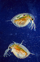 Langdorn-Wasserfloh, Wasserfloh, Wasserflöhe, Daphnia longispina, water fleas, water flea