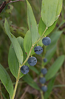 Echtes Salomonssiegel, Salomonsiegel, Wohlriechende Weißwurz, Weisswurz, Frucht, Früchte, Polygonatum odoratum, Polygonatum vulgare, Polygonatum officinale, Lesser Salomon´s Seal, angular Solomon's seal, scented Solomon's seal, fruit